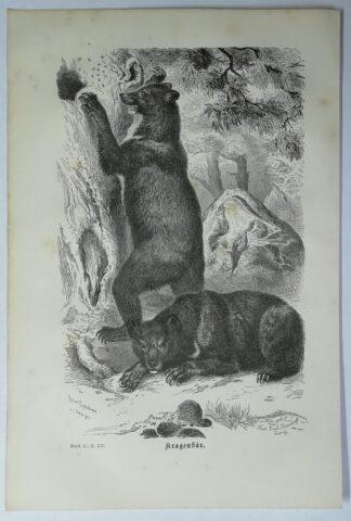 Kretschmer, Robert: Kragenbär – Holzstich aus Brehms Thierleben – 1877