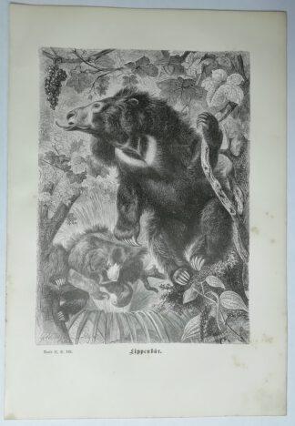 Kretschmer, Robert: Lippenbär – Holzstich aus Brehms Thierleben – 1877
