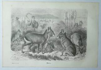 Mützel, Gustav Ludwig Heinrich: Mara [Pampashase] – Holzstich aus Brehms Thierleben – 1877
