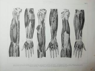 Anatomie – Obere Extremität – Stahlstich um 1875