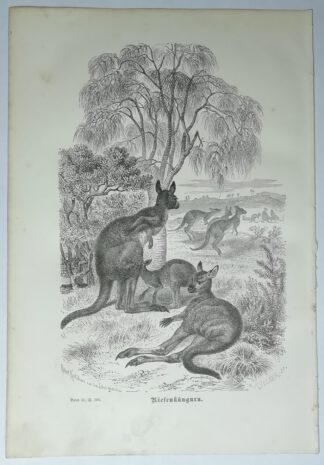 Kretschmer, Robert: Riesenkänguru – Holzstich aus Brehms Thierleben – 1877