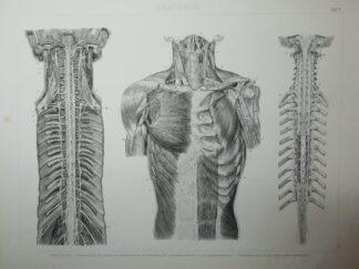 Anatomie – Rumpf – Stahlstich um 1875