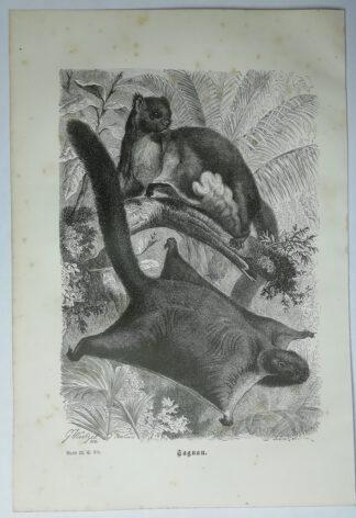 Mützel, Gustav Ludwig Heinrich: Taguan [Riesengleithörnchen] – Holzstich aus Brehms Thierleben -1877