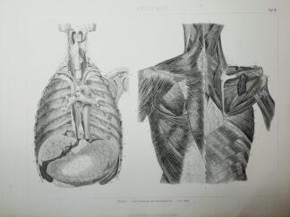 Anatomie – Thorax – Stahlstich um 1875
