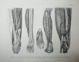 Anatomie – Untere Extremität – Stahlstich um 1875