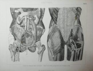 Anatomie – Unterleib – Stahlstich um 1875