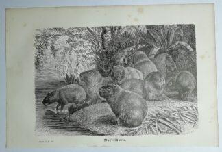 Mützel, Gustav Ludwig Heinrich: Wasserschwein – Holzstich aus Brehms Thierleben – 1877