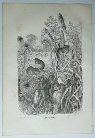 Kretschmer, Robert: Zwergmaus – Holzstich aus Brehms Thierleben – 1877
